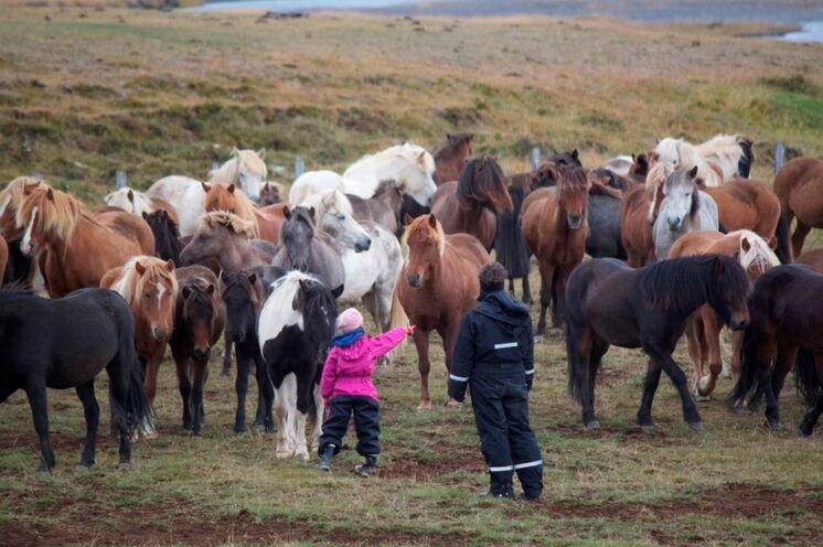Pferde werden übrigens ebenso abgetrieben und sortiert.