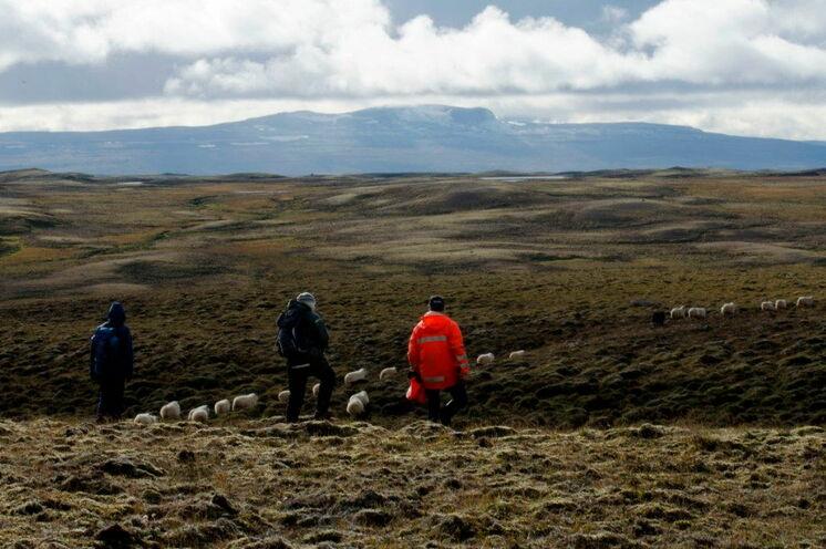 Am 9. Tag werden die Schafe von den höher gelegenen Naturweiden abgetrieben.