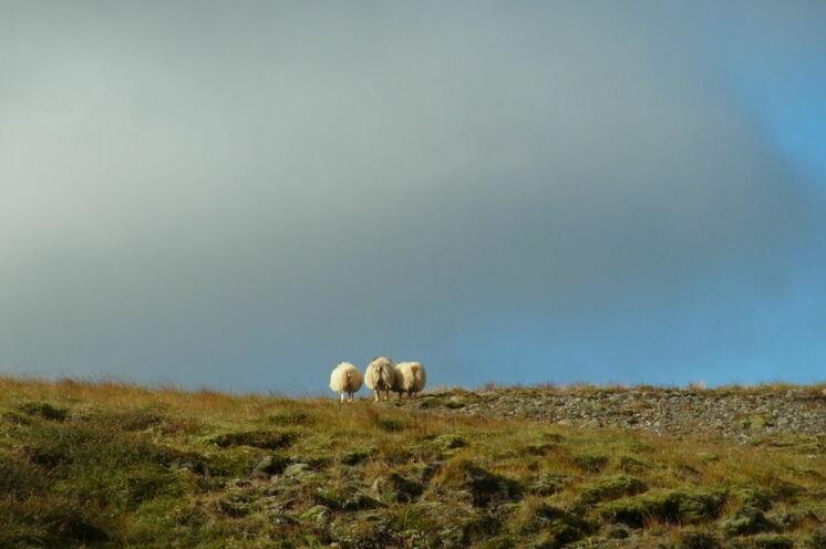 """Manche Schafe versuchen es mit der alten Verstecktaktik """"Wenn wir euch nicht sehen, seht ihr uns auch nicht."""". Leider ist ihre Erfolgsquote meist recht gering. :-)"""