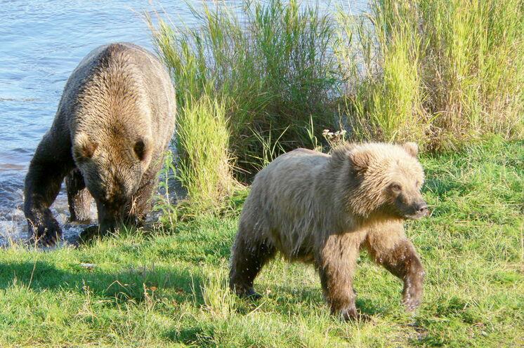 Alaska ist ein beliebtes Ziel für Tierbeobachtung