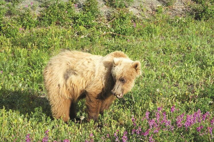 Unberüherte Wildnis mit Bären