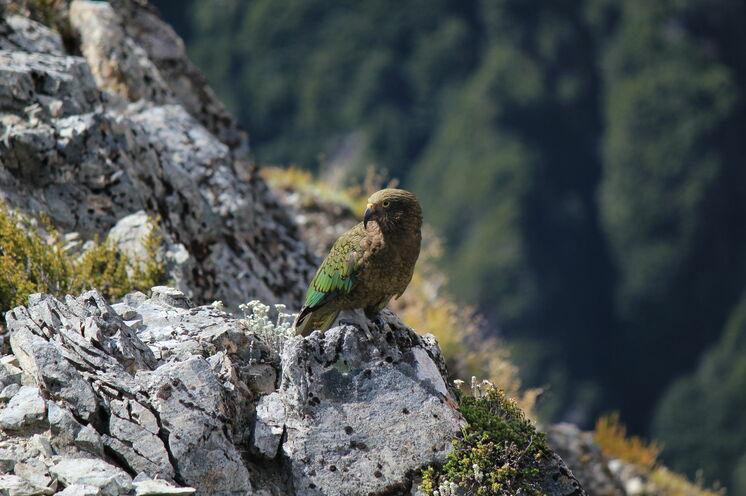 Ein Kea - typsisch neuseeländischer Bergpapagei