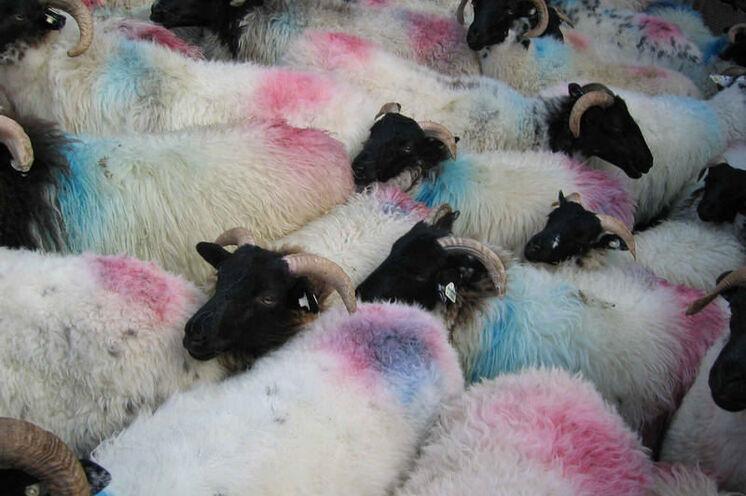 Bei Ihren Unternehmungen werden Sie oft feststellen, Irland ist das Land der Schafe