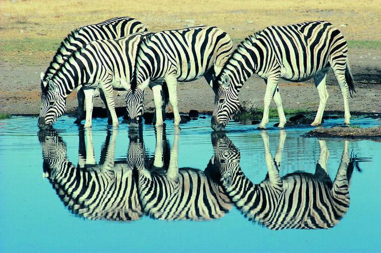 Im Krüger-NP - dem größten und ältesten (seit 1884) Wildschutzgebiet Südafrikas - gehen Sie 2 Tage auf Pirschfahrt.