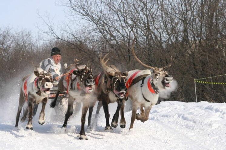 """Im Rahmen des """"Prasdnik Severa"""" das Rentierrennen. Rentierzüchter aus den weiten Tiefen der Kola-Halbinsel ermitteln hier den schnellsten Schlitten."""