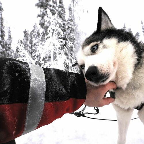 Huskytour am Rande des Polarkreises