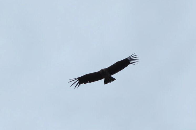 Vor allem in Zentralchile sieht man mit Glück noch den König der Lüfte - den Kondor - kreisen (Foto: A. Coch, 2012)