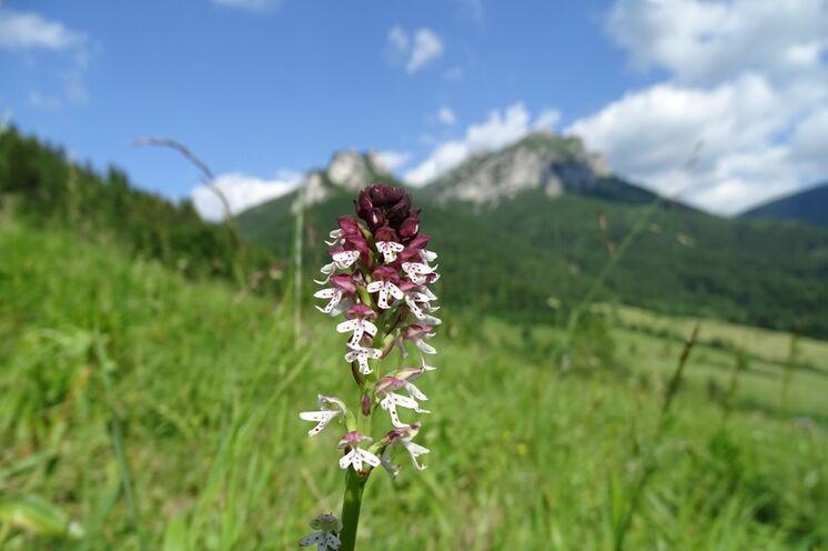 Die Mala Fatra - ein Paradies für Botaniker!