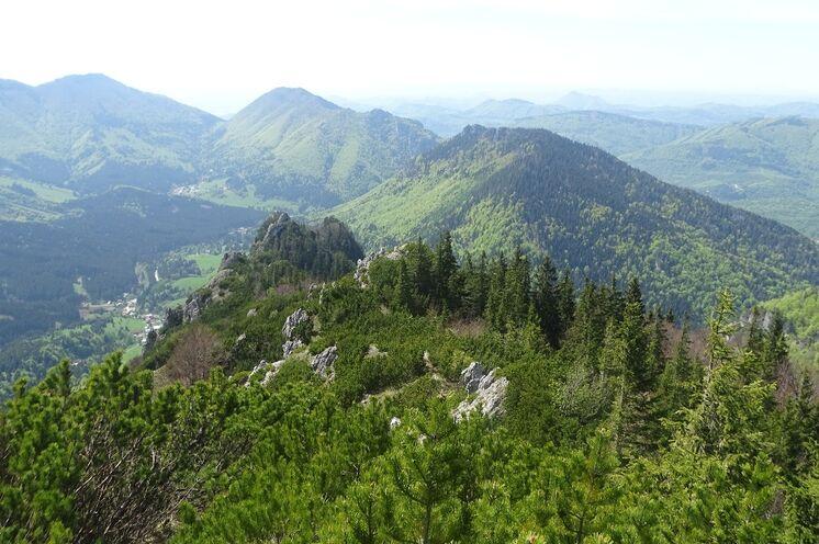... und zu den Gipfeln über dem Fichten- und Kiefernwald