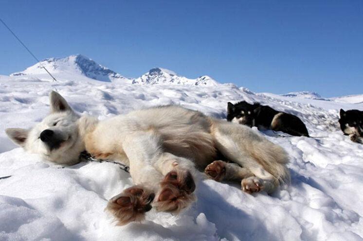 Das Tourenziel ist erreicht und die Huskys geniessen die letzten Sonnenstrahlen.