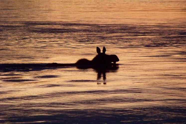 Ein Elch beim abendlichen Bad im Yukon River