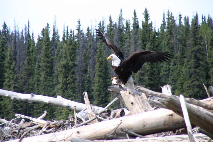 Majestätische Tiere in den Wipfeln kanadischer Bäume - der Weißkopfseeadler