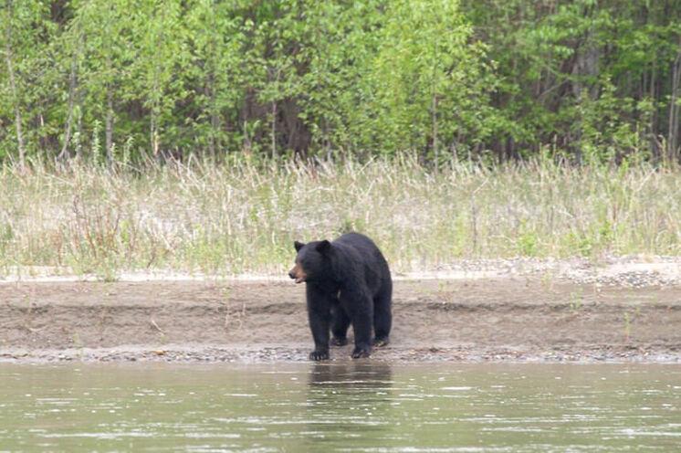 Am Flussufer begegnet Ihnen mit etwas Glück ein Schwarzbär