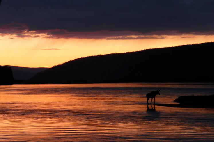 Elche sind scheue Tiere, doch mit etwas Glück begegnen sie Ihnen auch während der Kanutour