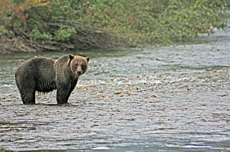 Tausende Lachse locken alljährlich zahlreiche Grizzlies zum Bella Coola River