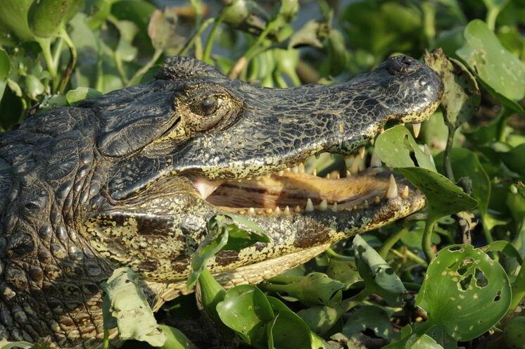 Kaimane sind vor allem auf den Nachtsafaris zu sehen, aber auch bei Tageslicht oft anzutreffen.