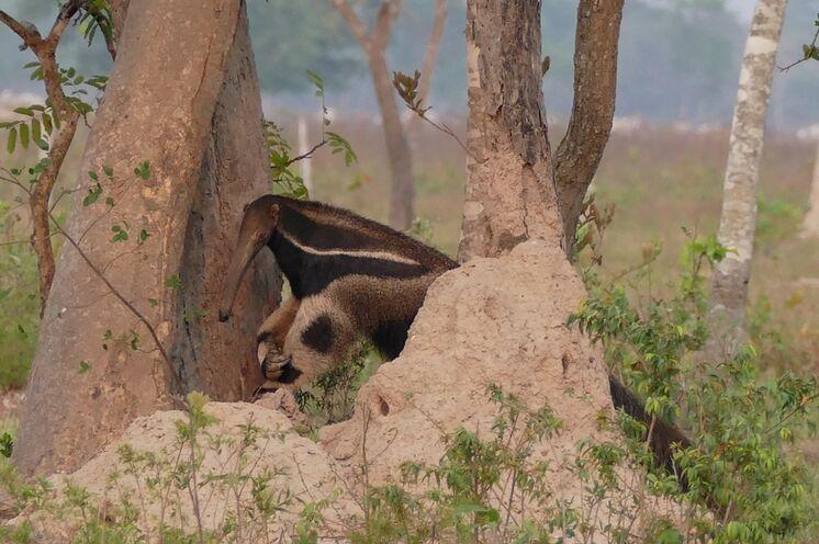 Großer Ameisenbär im Pantanal (Foto: Günter Sicker)
