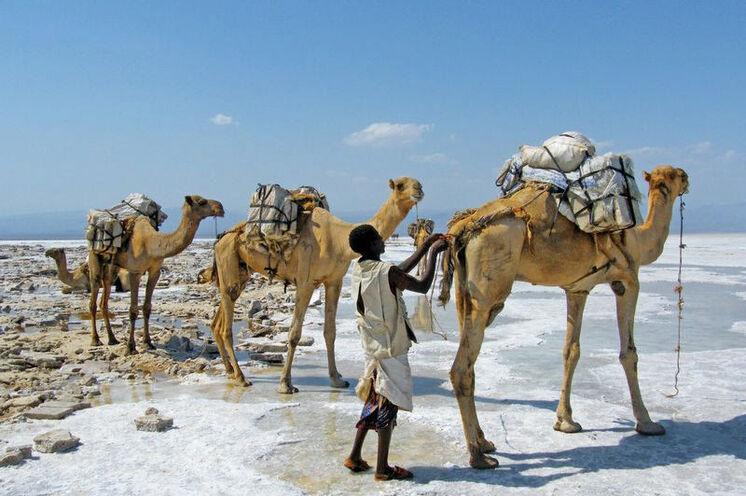 Kamelkarawane in der Danakil.