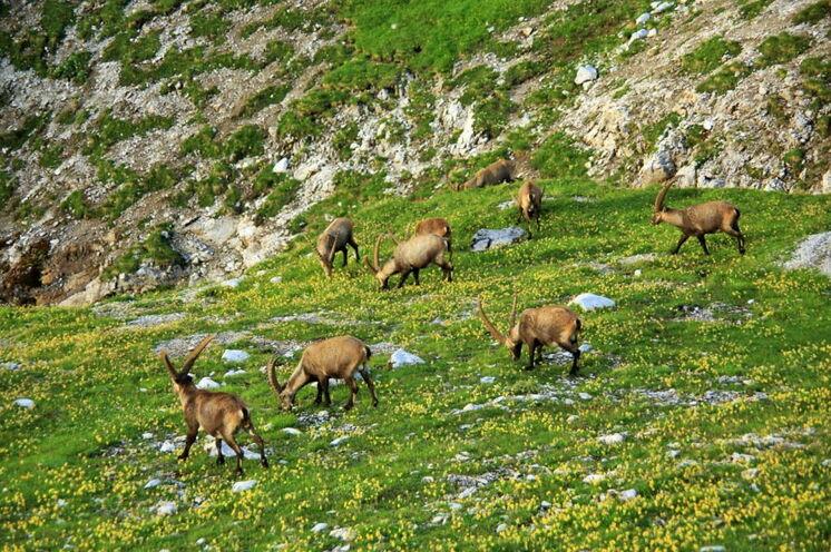 Alpensteinböcke sind oft in Rudeln anzutreffen