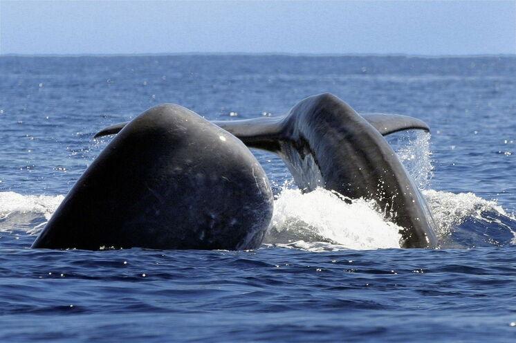 Eine Walbeobachtung (opt.) am Hotspot Pico darf natürlich nicht fehlen. Bis zu 27 verschiedene Wal- und Delfinarten durchstreifen die Küsten der Azoren.