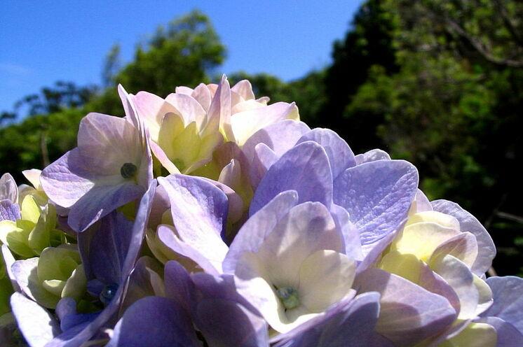 Hortensien sind allgegenwärtig. Sie blühen von Ende Juni (Blütenanfang in tieferen Lagen) bis September (Blüte in den Bergen) in den verschiedensten Farbtönen.