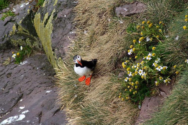 Neugieriger Papageitaucher beim Vogelfelsen Látrabjarg.