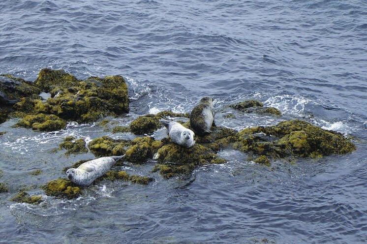 Dort leben auch viele Seehunde. Entweder faul rumliegend...