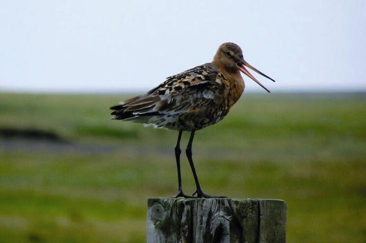 Schon während der Wanderung in der Arnarvatnsheiði gibt es Vögel zu beobachten.
