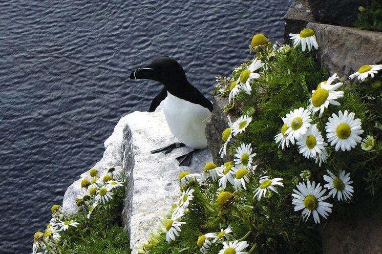Tordalke - einer von tausenden Seevögeln, die man bei der Steilküste Látrabjarg antreffen kann.