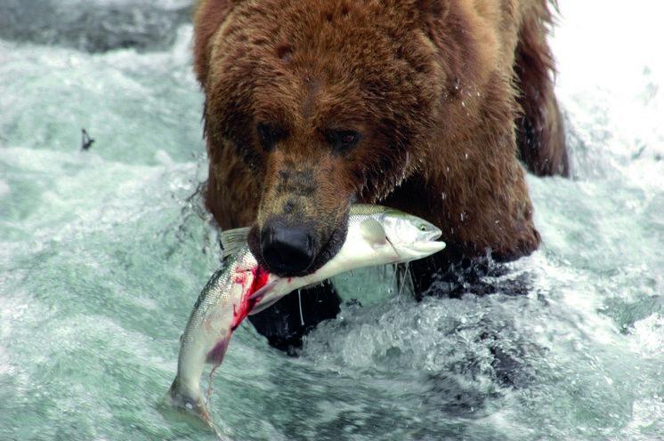 Die Bären fressen sich in dem kurzen Sommer den Winterspeck an. Männliche Tiere können über 600 kg schwer werden.