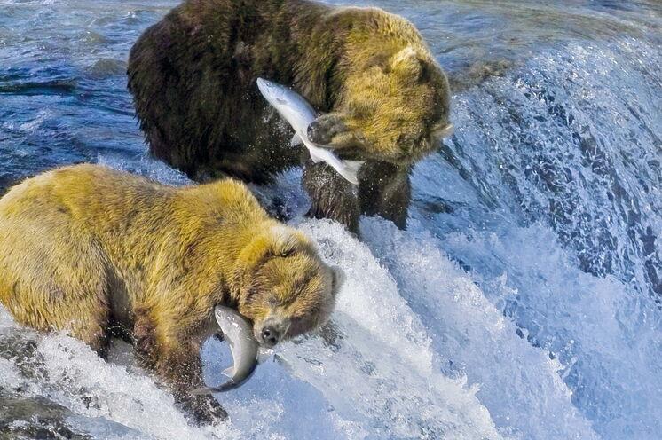 Im Katmai-Nationalpark kann man die Bären beim Fischen in sicherer Entfernung beobachten