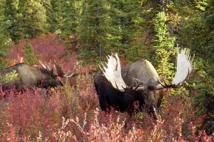 Alaska-Elche sieht man oft. Besonders große Schaufelgeweihe weisen diese auf.