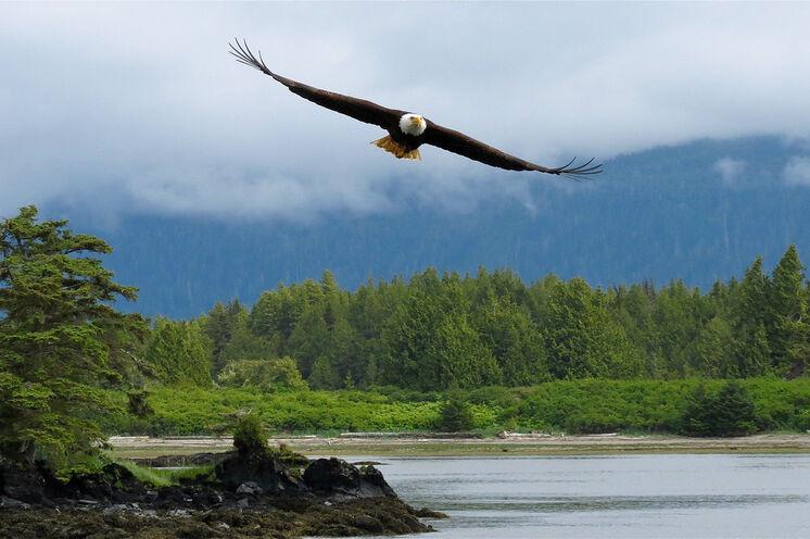 Herrscher der Lüfte – ein Weißkopfseeadler im Landeanflug