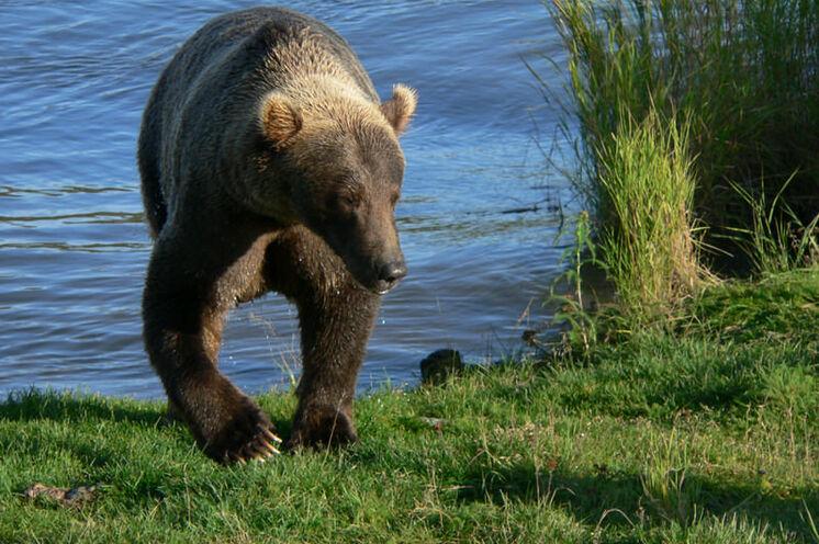 In Alaska kommt es immer mal zu einer Begegnung mit einem Bären