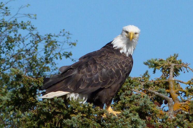 Die größten Greifvögel Nordamerikas können eine Flügelspannweite bis 2,5 Meter erreichen