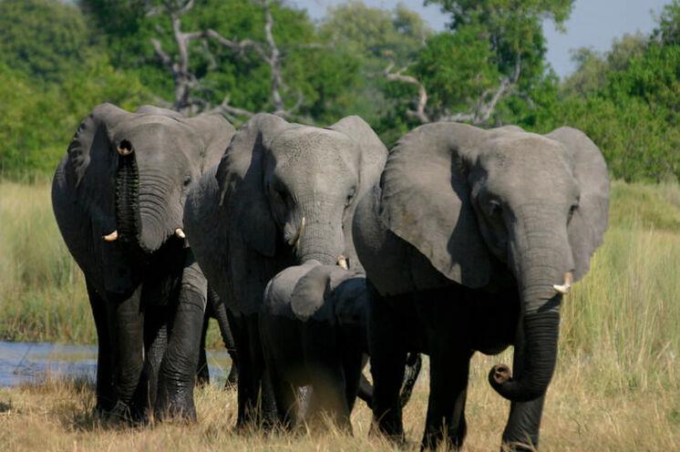 Im Chobe-NP (15.-17. Tag) findet sich die höchste Elefantendichte weltweit mit über 40.000 Tieren.