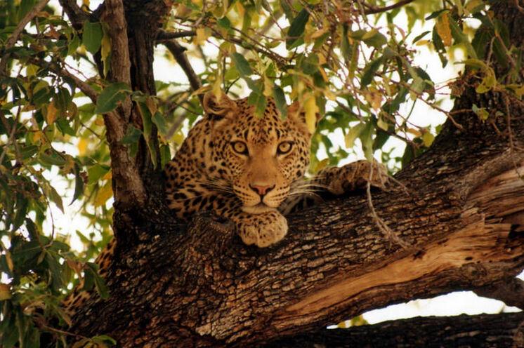 Im Moremi-Wildreservat wartet eine großartige Tierwelt mit guten Chancen auch Leoparden zu sehen zu bekommen.