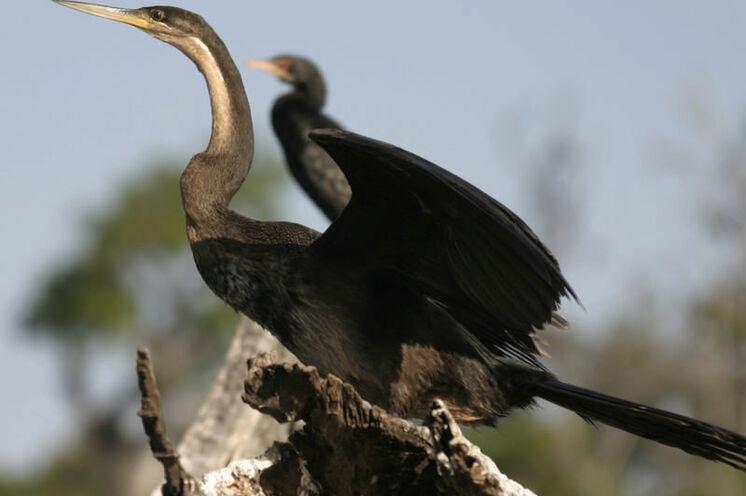 Am Chobe-Fluss kann man viele Wasservögel beobachten: Schlangenhalsvogel.