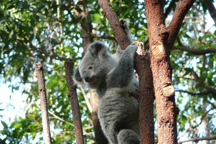 Auf Kangaroo Island begegnen Sie Koalas – ein Beispiel für Australiens exotische Tierwelt