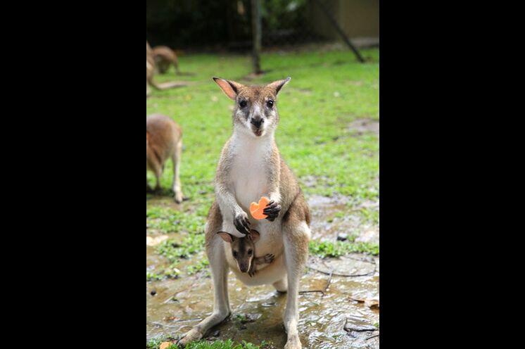 Diese niedlichen Beuteltiere erleben Sie hautnah auf Kangaroo Island