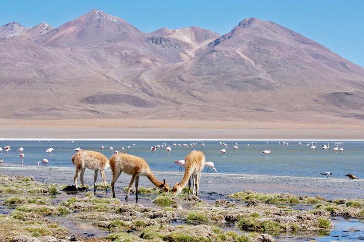 Flamingos und Vikunjas haben sich den ungewöhnlichen Lebensbedingungen im Altiplano angepasst. (Foto: V. Weichsel)