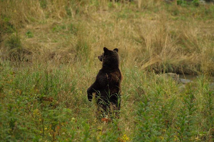Grizzlybär in freier Wildbahn