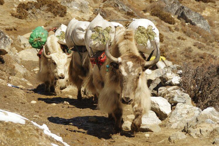 Ihrer steter Begleiter: Fleißige Yaks auf dem Weg Richtung Gokyo