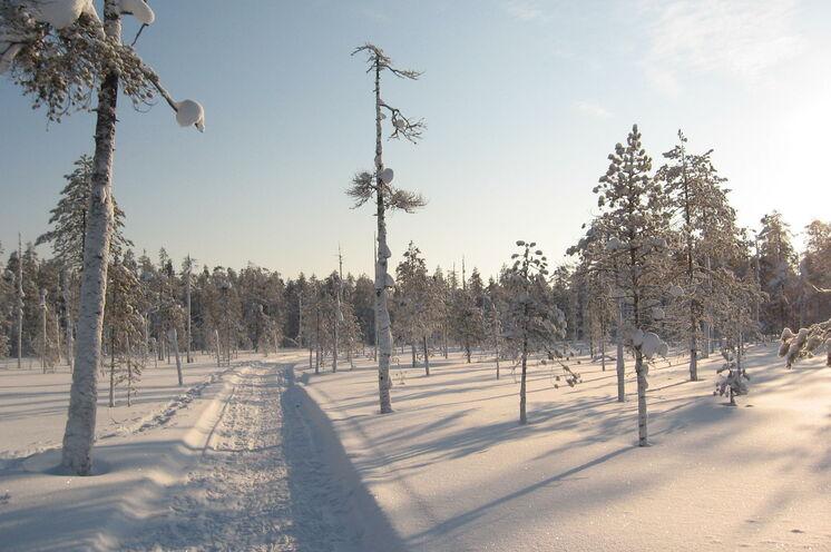 In den wunderschön verschneiten Kiefern-, Fichten- und Birkenwälder ist es wahrscheinlicher, auf  ein Rentier als auf Menschen zu treffen