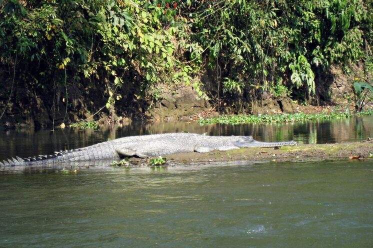 Mit etwas Glück können Sie den seltenen Ganges-Gavial beobachten