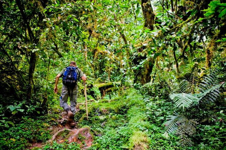 Es geht, je nach Aufenthaltsort der Gorillafamilie, teilweise durch zugewucherten Regenwald