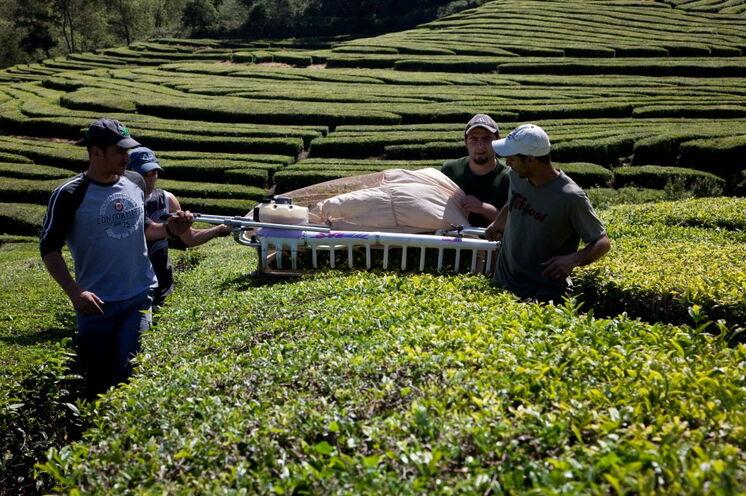 Die Teeplantagen nahe Gorreana sind die einzigen Europas