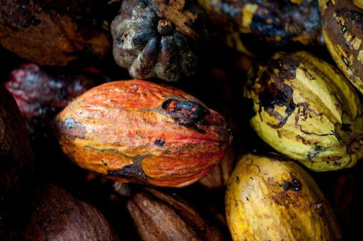 Kakao -der Exportschlager der Inseln