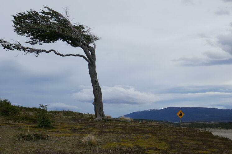Der Wind prägt die Baumformen in Feuerland
