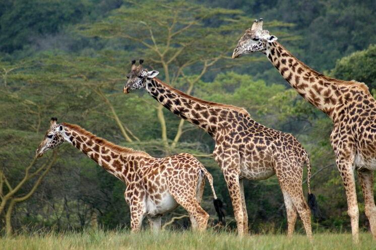 Giraffen im Arusha-Nationalpark